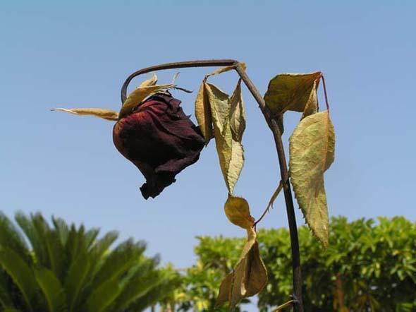 flor-marchita