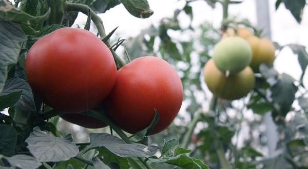 invernadero-tomates-olafrio_1600